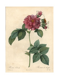 Frankfort Rose or Empress Josephine Rose, Rosa Francofurtana Giclee Print by Pierre-Joseph Redoute