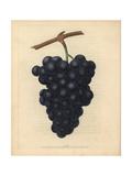 Black Hamburgh Grapes, Vitis Vinifera Giclee Print by George Brookshaw