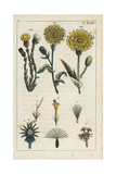 Hawkweed Oxtongue, Corn Sow Thistle and Coltsfoot Giclee Print