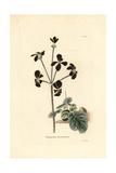 Heraeleum-Leaved Stork's-Bill, Pelargonium Heracleifolium Giclée-Druck von George Cooke