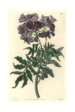 Tuberless Solanum, Solanum Etuberosum Giclee Print by Sarah Drake