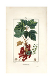 Redcurrant, Ribes Rubrum Giclee Print by Pierre Turpin