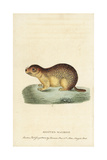 Spotted Marmot, Spermophilus Suslicus Giclee Print