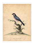 Java Sparrow, Lonchura Oryzivora Vulnerable Giclee Print by William Hayes