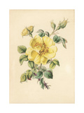 Yellow Bramble Rose, Rosa Lutea Giclee Print by James Andrews