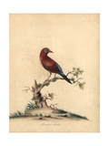 Common Grenadier, Uraeginthus Granatinus Giclee Print by William Hayes