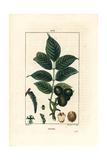 Walnut Tree, Juglans Regia Giclée-Druck von Pierre Turpin