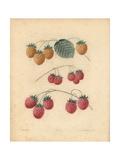 Raspberry Varieties Giclee Print by George Brookshaw