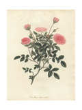 Pink Rose, Rosa Nana Minor Var Aequaliflora Giclee Print by Henry Andrews
