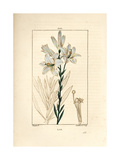 White Lily, Lilium Candidum Giclee Print by Pierre Turpin