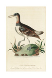Red-Necked Phalarope, Phalaropus Lobatus Giclee Print by George Edwards