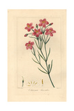 Bitterwortel or Bitter Root, Chironia Linoides, Native to South Africa Giclee Print by Pancrace Bessa