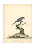 Red-Cheeked Cordonbleu, Uraeginthus Bengalus Giclee Print by William Hayes