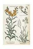 Common Wallflower and Sea Stock Giclee Print