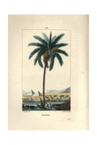 Date Palm, Phoenix Dactylifera Giclee Print by Pierre Turpin