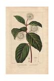 Buttonbush, Cephalanthus Occidentalis Giclee Print by Pancrace Bessa