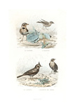 Calandra Lark, Skylark, Crested Lark and Marsh Lark Giclee Print by Edouard Travies