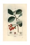 Whitebeam Tree, Sorbus Aria Giclee Print by Pierre Turpin