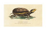 Eastern Mud Turtle, Kinosternon Subrubrum Giclee Print by George Edwards