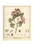 Hairy Alpenrose, Rhododendron Hirsutum Giclee Print by F. Guimpel