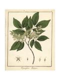 Copal or Copaiba Tree, Copaifera Guyanensis Giclée-Druck von F. Guimpel