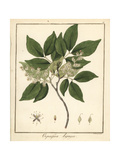 Copal or Copaiba Tree, Copaifera Guyanensis Giclee Print by F. Guimpel