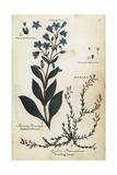 Dotted Felwort and Alpine Azalea Giclee Print