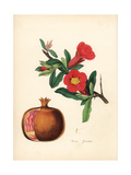Pomegranate, Punica Granatum Giclee Print by M.A. Burnett