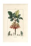 Pistachio Nut Tree, Pistacia Vera Reproduction procédé giclée par Pierre Turpin