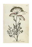 Common Meadow Saxifrage, Selinum Carvifolia Giclee Print