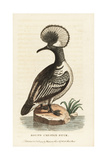 Hooded Merganser, Lophodytes Cucullatus Giclee Print by George Edwards