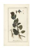 Ground Ivy, Glechoma Hederacea Giclee Print
