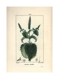 Curled Mint, Mentha Crispa Giclee Print by Pierre Turpin