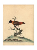 Southern Red Bishop, Euplectes Orix Giclee Print by William Hayes