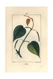 Betel, Piper Betel Giclee Print by Pierre Turpin
