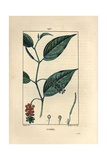 Cubeb Pepper Shrub, Piper Cubeba Giclee Print by Pierre Turpin