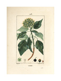 Common Ivy, Hedera Helix Giclee Print by Pierre Turpin