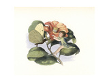 Fairy and Butterfly Dancing on a Camellia Flower Giclee Print by Richard Doyle
