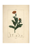Marigold, Calendula Officinalis Giclee Print by Pierre Turpin