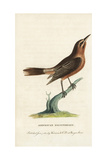Orchard Oriole, Icterus Spurius Reproduction procédé giclée par George Edwards