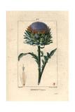 Globe Artichoke, Cynara Cardunculus Giclee Print by Pierre Turpin