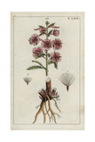 Rosebay Willowherb or Fireweed, Chamerion Angustifolium Giclee Print