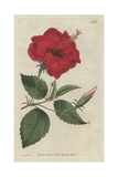 China-Rose Hibiscus, Hibiscus Rosa Sinensis Giclee Print by Sydenham Edwards