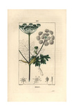 Common Hogweed or Cow Parsnip, Heracleum Sphondylium Giclee Print by Pierre Turpin