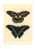Common Lime Butterfly and Green-Banded Swallowtail Giclee Print by George Shaw