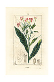 Tobacco, Nicotiana Tabacum Giclee Print by Pierre Turpin