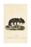 Songar Rat, Mus Songarus Giclee Print by Thomas Pennant
