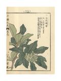 Winter Daphne, Daphne Odora, Native to Asia Giclee Print by Bairei Kono