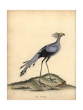 Secretarybird, Sagittarius Serpentarius Giclee Print by William Hayes
