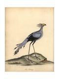 Secretarybird, Sagittarius Serpentarius Giclee Print by William Hayes